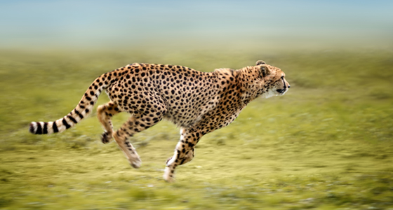 11476-6 5Secrets-Cheetah-560x300.jpg